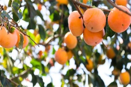 柿子不能和什么食物一起吃 肠胃不好的人吃柿子有禁忌