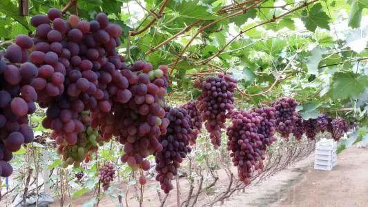 葡萄营养价值高,常吃可养颜补血~