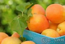 杏子的功效与作用 有何禁忌